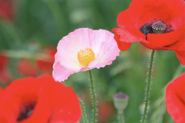 シャーレーポピー。別名・虞美人草とも呼ばれるヒナゲシの花=昭和記念公園にて