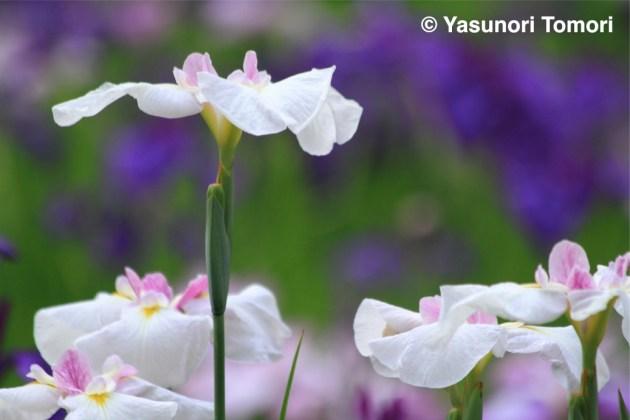 満開の花菖蒲=千葉県松戸市の本土寺にて