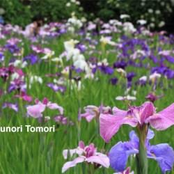 色鮮やかに咲き乱れる花菖蒲=松戸市の本土寺にて