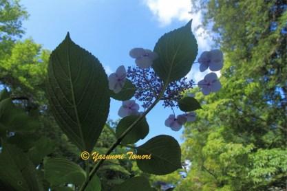ガクアジサイの花がまだ咲いていた=岩手県盛岡市の盛岡城址公園にて