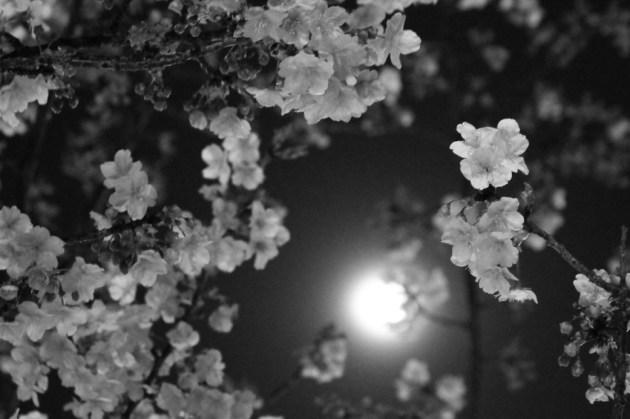 満月に浮かぶ夜桜