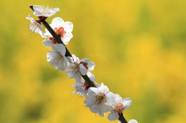 菜の花と梅の競演。 Contest of plum and rape blossoms.