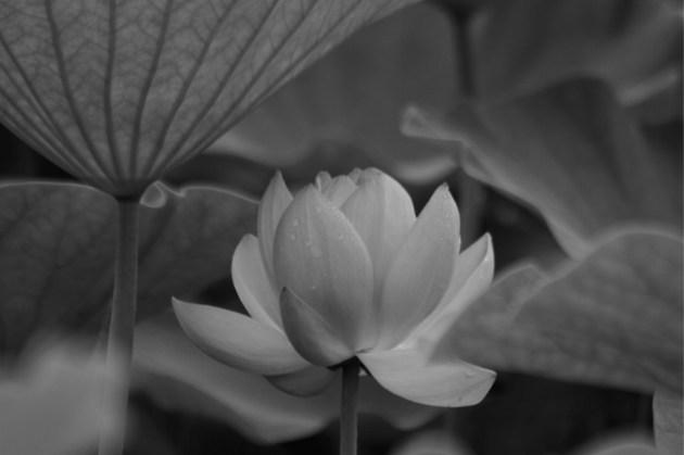 妖しく美しく……(The beautiful and mysterious)ハスの花=6月8日、千葉公園にて