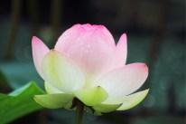薄桃色の花びらに雨粒のダイヤを施す