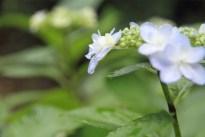 水潤う紫陽花