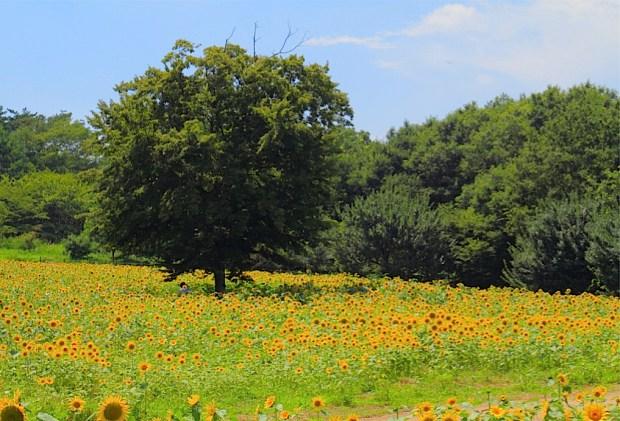 一面黄色のひまわり畑