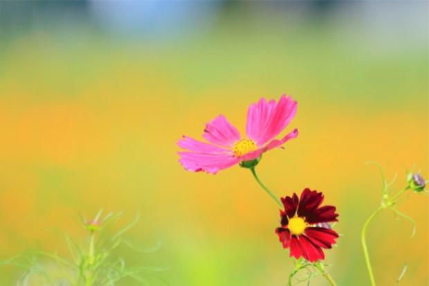 寄り添い合うコスモスの花