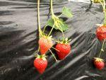 神奈川でイチゴ狩り!30分食べ放題の鈴木農園!おすすめの時期は?