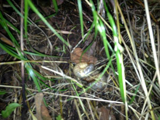 地表の藁の中から見つけたカブトムシの幼虫
