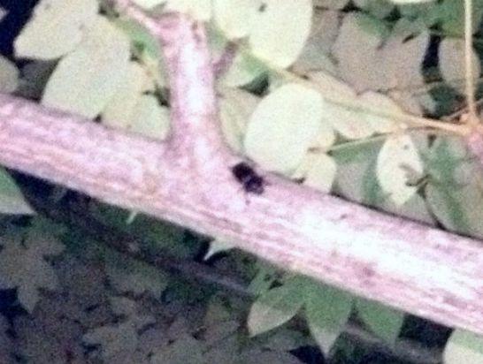河川敷のオニグルミの樹液を吸うノコギリクワガタのメス