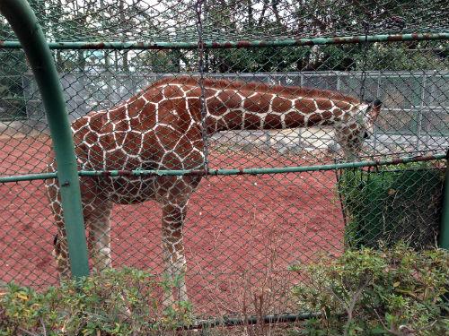 野毛山動物園のアミメキリン
