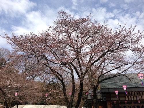 厚木飯山桜まつりの桜