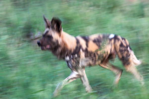 African wild dog running, South Africa