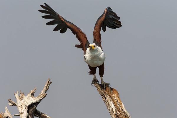 African fish eagle, Chobe