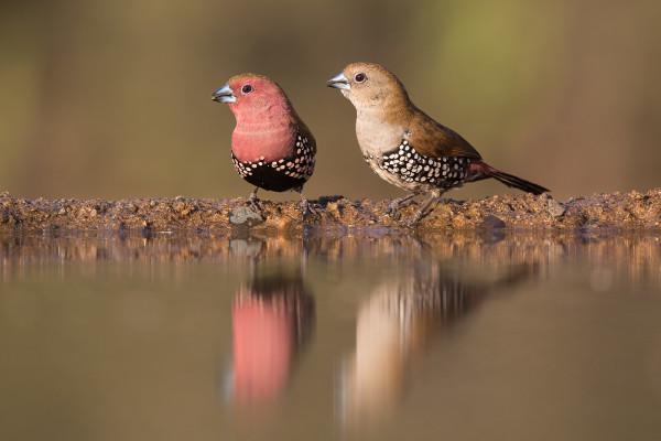 Pink-throated twinspots, Zimanga