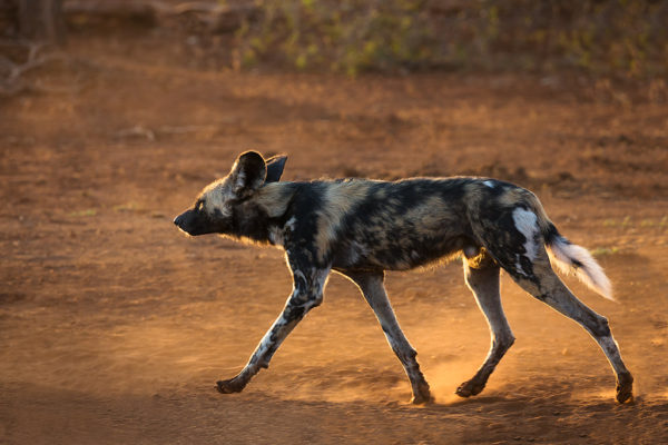 African wild dog, Zimanga photo safari