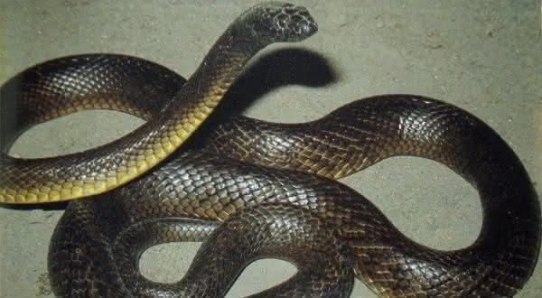 Cobra de barriga amarela taipan do interior