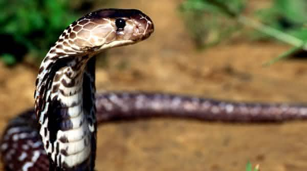 cobra real king entre os animais que mais matam no mundo