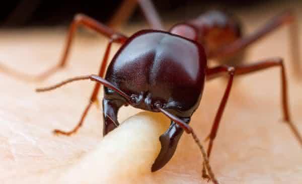 formigas-dorilus-entre-os-insetos-mais-perigosos-do-mundo Top 10 insetos mais perigosos do mundo Curiosidades