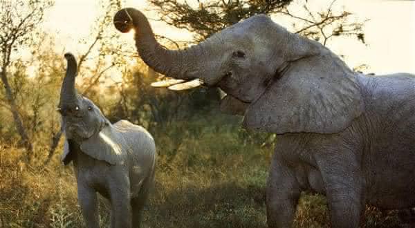 elefante africano entre os animais mais fortes do mundo