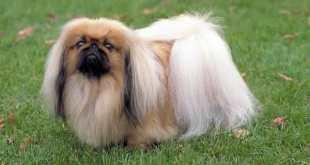 Top 10 raças de cães menos inteligentes do mundo