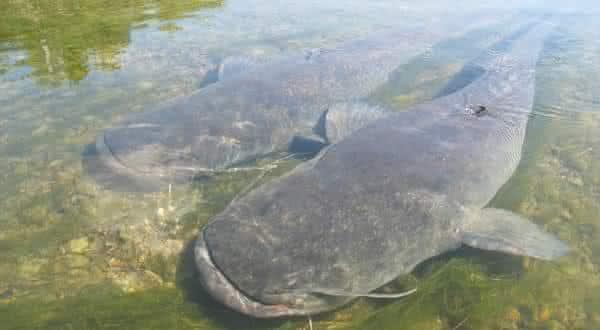 catfish entre os peixes mais perigosos do mundo