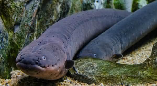 poraque entre os peixes mais perigosos do mundo