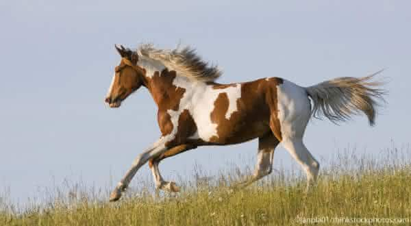 Paint Horse entre as racas de cavalos mais caras do mundo