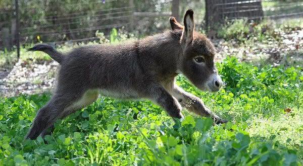 burro entre os animais com os periodos de gestacao mais longos