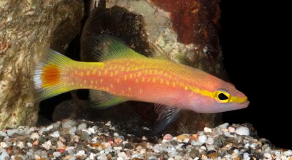 golden entre os peixes mais caros do mundo