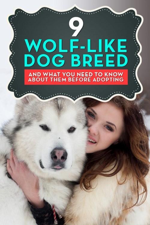 Medium Of Dog That Looks Like A Wolf