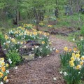 woodland walk with flowering bulbs