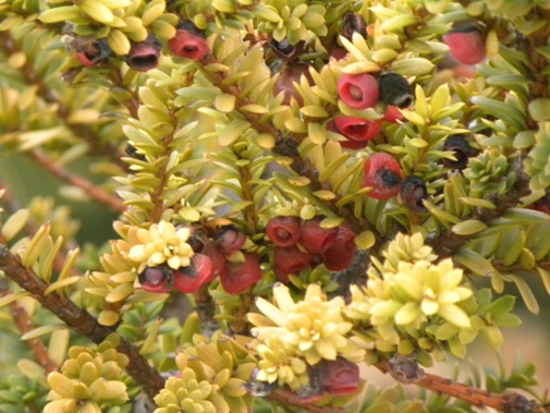 Taxus baccata 'Hamersford'