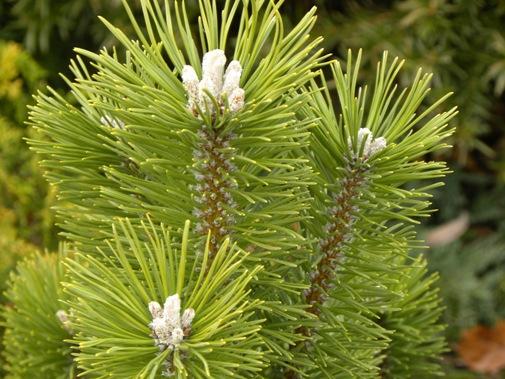 Pinus mugo 'Green Candle'