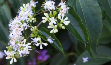 heptacodium