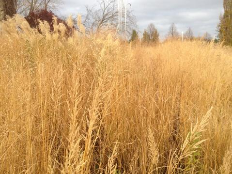 Entry Garden ornamental grasses November 6,2012