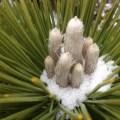 Pinus parviflora 'Hagaromo' January 21, 2013
