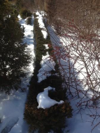 Taxus x media 'Hicksii' Show Garden February 2013