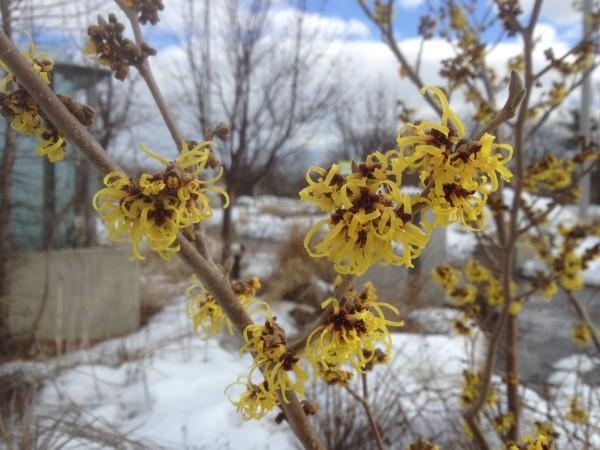 Hamamelis x intermedia 'Primavera' AC March 8, 2013