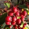 Malus 'Donald Wyman' berries
