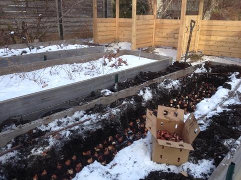 planting bulbs through the snow