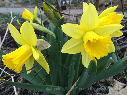 Narcissus 'Rijnvelds Early Sensation'