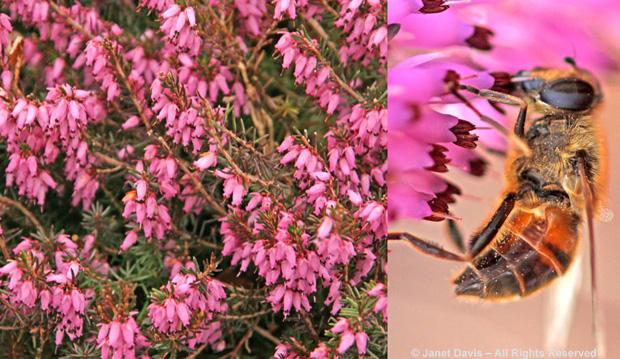 Heath, Honey Bee, Spring