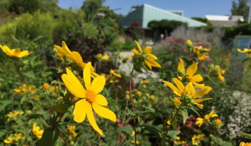 TBG yellow flowers in forground with building in the back