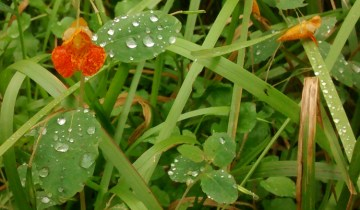 Impatiens capensis, known as jewelweed or touch-me-not, showing water droplets beaded on leaves