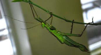 Stick insect hanging onto a branch.