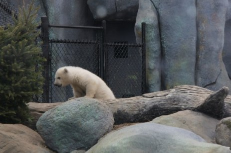 Polar bears, like the cub who recently made his public debut at the Toronto Zoo, have been on the endangered species list since 2008.