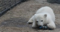 On Feb. 3, a new polar bear made his public debut at the Toronto Zoo. Zoo workers saved his life after his mother rejected him and his two siblings three-and-a-half months ago.