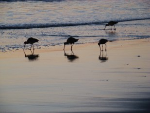 'Coronado Island Shorebirds' by photographer John Oughton.