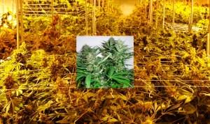 cannabis-marihuana-torrelodones